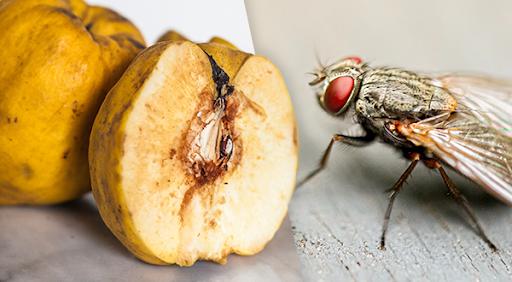 fly eating food scraps